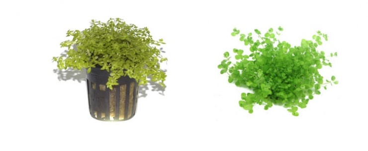 Foreground Plants for a freshwater aquarium - Baby tears, Pearl grass (hemianthus micranthemoides), Dwarf anubias